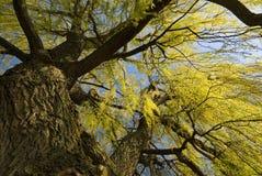 Vue ascendante d'arbre de saule de source Images libres de droits