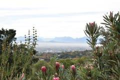 Vue au-dessus de Cape Town du jardin botanique avec des beaucoup le Roi rose Proteas dans l'avant en Afrique du Sud Image stock