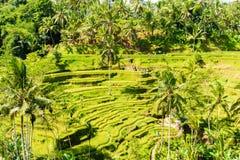 Vue au-dessus des terrasses de riz de Tegallalang près d'Ubud, Bali, Indonésie Images libres de droits