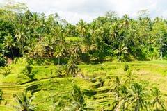 Vue au-dessus des terrasses de riz de Tegallalang près d'Ubud, Bali, Indonésie Photographie stock libre de droits