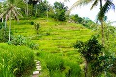 Vue au-dessus des terrasses de riz de Tegallalang près d'Ubud, Bali, Indonésie Photos libres de droits