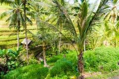 Vue au-dessus des terrasses de riz de Tegallalang près d'Ubud, Bali, Indonésie Images stock