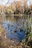Vue au parc urbain d'automne avec les canards sauvages sur l'étang le matin ensoleillé Images libres de droits