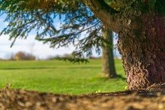 Vue au sol d'arbre à feuilles persistantes images libres de droits