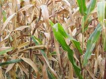 Vue automnale sur un champ de maïs Image libre de droits