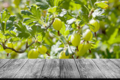 Vue aux groseilles à maquereau vertes fraîches sur une branche de buisson de groseille à maquereau photos stock