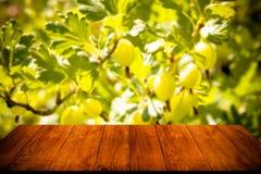 Vue aux groseilles à maquereau vertes fraîches sur une branche de buisson de groseille à maquereau photographie stock