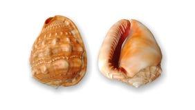 Vue avant et arrière de Shell avec le papier peint blanc de fond, photo libre de droits
