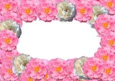 Vue, carte postale des fleurs roses d'isolement sur le fond blanc Photographie stock libre de droits