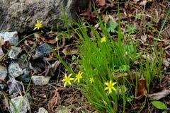 Vue ci-dessus sur les fleurs jaunes douces entre l'herbe verte Photos stock