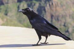 Vue commune de corax de Corvus de corbeau de côté photo libre de droits