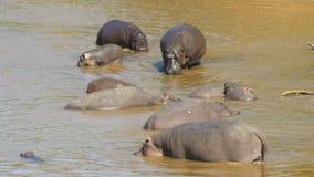 Vue courbe d'un troupeau d'hippopotame en rivière dans Masai Mara, Kenya clips vidéos