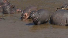 Vue courbe d'une jeune position d'hippopotame en rivière de Mara dans le masai Mara banque de vidéos