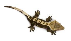 Vue courbe de Gecko crêté calédonien neuf image libre de droits
