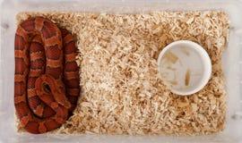 Vue courbe de serpent de maïs Image stock