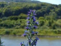 Vue détaillée d'une fleur sur la rivière Elbe Image libre de droits