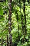 Vue d'Adetailed d'une racine aérienne tordue dans la réservation biologique de Tirimbina en Costa Rica photos libres de droits