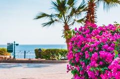 Vue d'allée de marche près de plage avec des paumes et des fleurs de groupe-formation Spectabilis de bouganvillée photo libre de droits