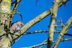 Vue d'angle faible de carolinensis gris de Sciurus d'écureuil de faune photos libres de droits