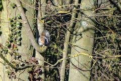 Vue d'angle faible de carolinensis gris de Sciurus d'écureuil de faune image libre de droits