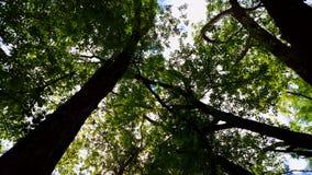 Vue d'angle faible de forêt et de ciel bleu avec le soufflement de vent Point de vue ascendant des arbres de région boisée et de  banque de vidéos