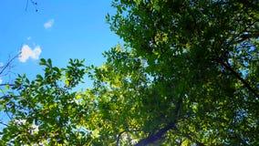 Vue d'angle faible de forêt et de ciel bleu avec le soufflement de vent Point de vue ascendant des arbres de région boisée et de  clips vidéos