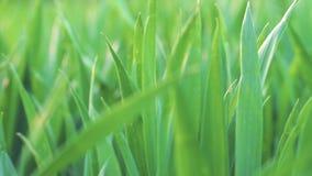 Vue d'angle faible, plan rapproché, caméra avançant par l'herbe verte de blé Ressort et fond d'écologie ou d'agriculture banque de vidéos