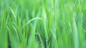 Vue d'angle faible, plan rapproché, chariot tiré de l'herbe verte de blé Ressort et concept d'écologie ou d'agriculture clips vidéos