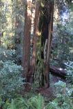 Vue d'arbre de séquoia Images stock