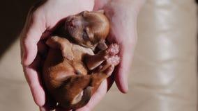 Vue d'en haut : Un petit chiot brun nouveau-né dort dans les paumes des mains Photographie stock