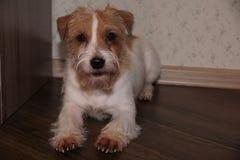 Vue d'intérieur de Jack Russell Terrier images libres de droits