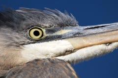 Vue d'oeil d'oiseaux, grande fin de héron bleu  image stock