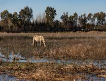 Vue d'un cheval blanc frôlant dans un domaine sec image libre de droits