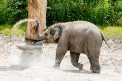 Vue d'un jeune éléphant dans un zoo Images libres de droits