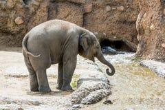Vue d'un jeune éléphant dans un zoo Photos stock