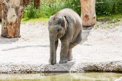 Vue d'un jeune éléphant dans un zoo Images stock