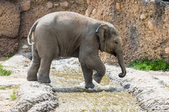 Vue d'un jeune éléphant dans un zoo Image stock