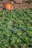 Vue d'un potager avec des choux, agriculture biologique, avec tout le processus d'artisan de culture images stock