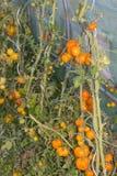 Vue dans la serre chaude avec la diverse espèce organique du gro de tomates Photo libre de droits
