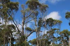 Vue dans les cimes d'arbre de l'eucalyptus et du ciel bleu images libres de droits