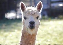 Vue de bandeau du visage du lama Images libres de droits