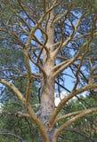 Vue de beau, grande, pin de cèdre Photographie stock libre de droits