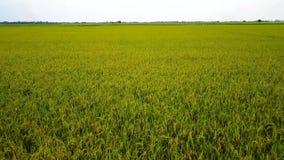 Vue de bourdon du gisement de riz de vert de la Thaïlande, mouche au-dessus de gisement gentil de riz avec le ciel clair banque de vidéos