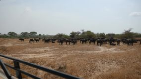 Vue de Buffalo de Safari Car On Herd Of dans la plaine africaine avec l'herbe jaune banque de vidéos