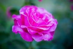 Vue de côté de buisson avec la rose de rose Image libre de droits