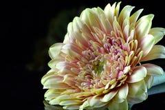 Vue de côté de chrysanthème Photo libre de droits