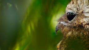 Vue de côté de Cri strident-hibou oriental images stock