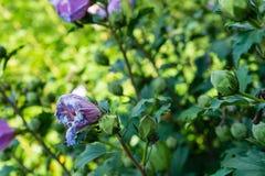 Vue de côté défraîchie de fleur rose dans le jardin avec la feuille verte Photographie stock libre de droits