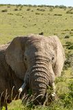 Vue de côté d'un éléphant regardant et mangeant sur des branches Image libre de droits