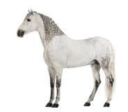 Vue de côté d'un Andalou de mâle avec la crinière tressée, 7 années, également connues sous le nom de cheval espagnol pur ou PRÉ Photos libres de droits